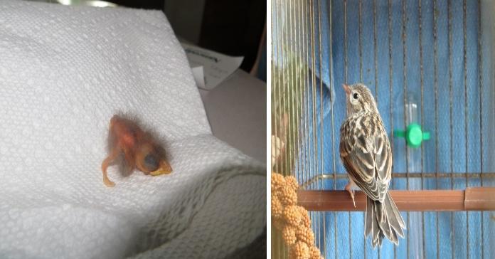 Це пташеня випало з гнізда і ледве не вмерло. Але погляньте на нього через 36 днів!