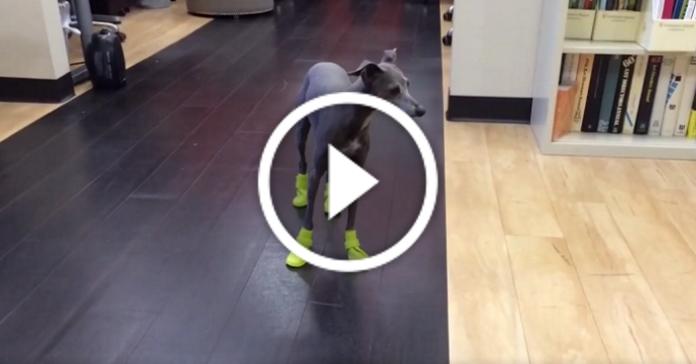 Псу купили нове взуття і зняли на відео його перші спроби пройтися