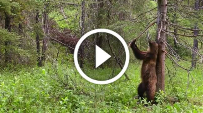Ведмеді, які дуже люблять танцювати