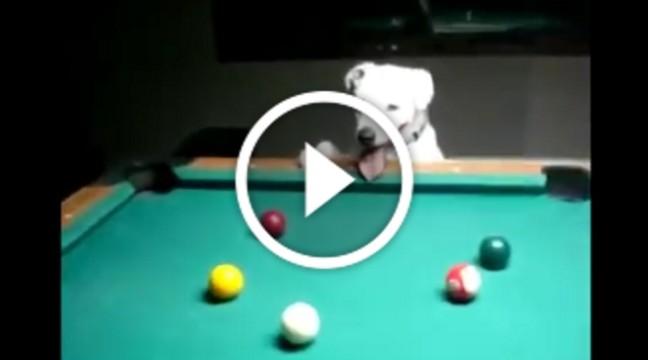 Собака навчився грати більярд. І погляньте – він робить це краще, ніж більшість із нас!