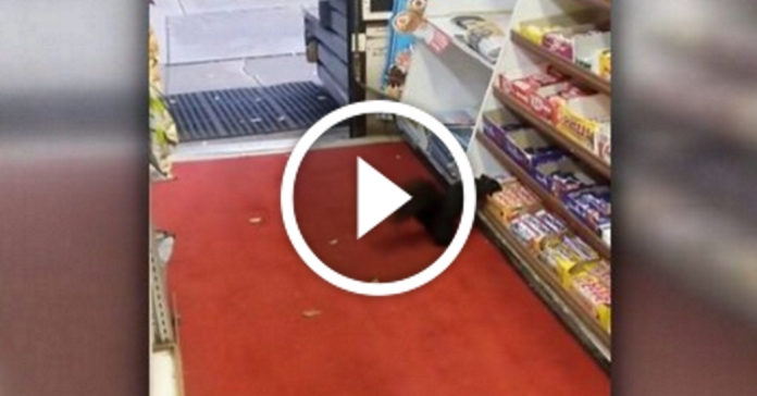 Пухнасті грабіжники. У Торонто білки крадуть з магазину шоколадки
