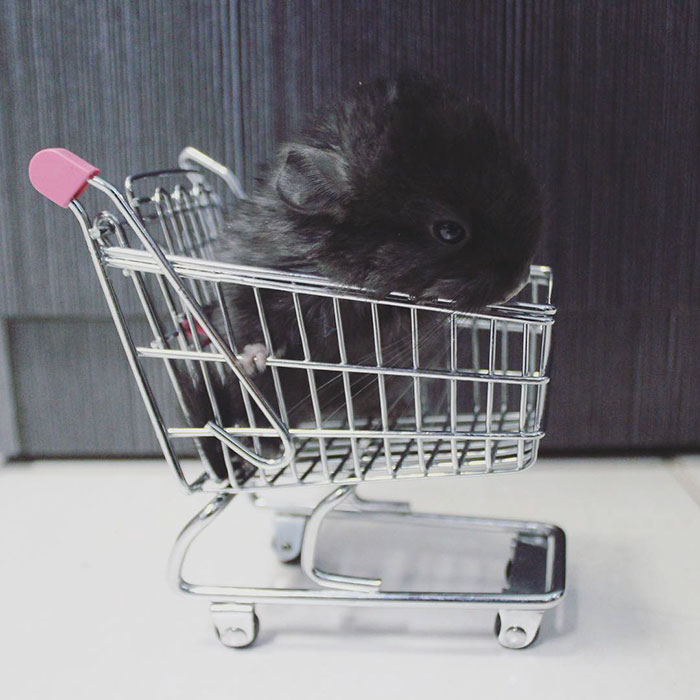 cute-baby-chinchillas-110-586cedcd39e49__700