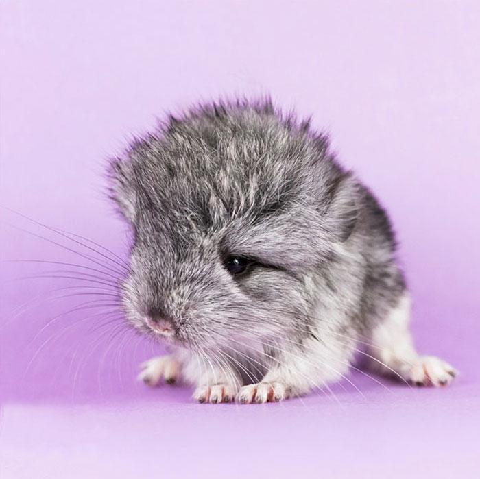 cute-baby-chinchillas-2-586ca18909169__700