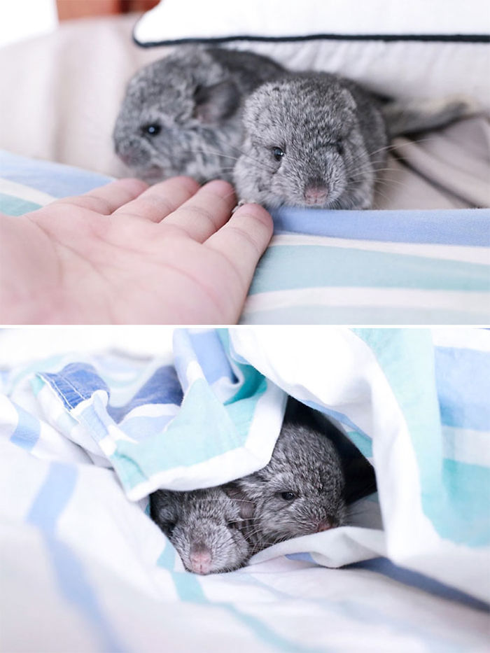 cute-baby-chinchillas-3-586bc697a8ea7__700