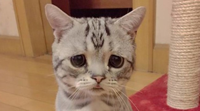 Готуйтеся закохатися у найсумнішу котячу мордочку в світі