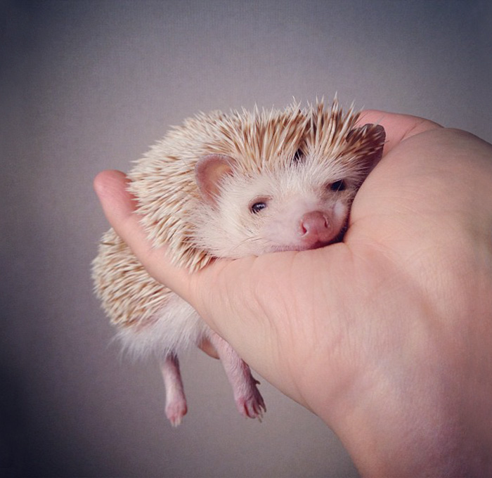 cute-hedgehog-photos-10-58930c91acdd3__700