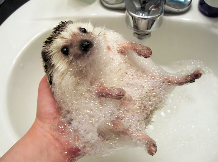 cute-hedgehog-photos-11-58930c93cbc61__700