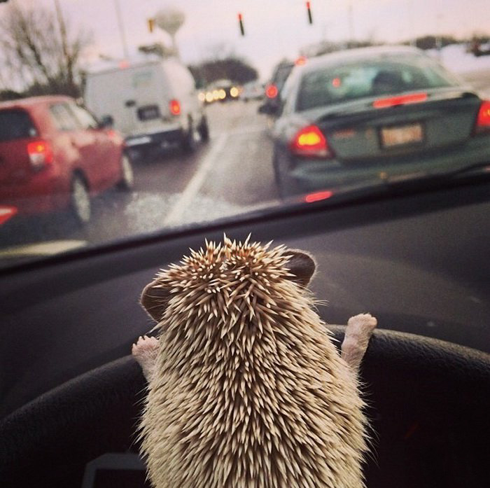 cute-hedgehog-photos-2-58930c801b499__700