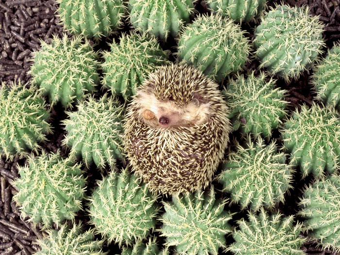 cute-hedgehog-photos-6-58930c88f1ef3__700