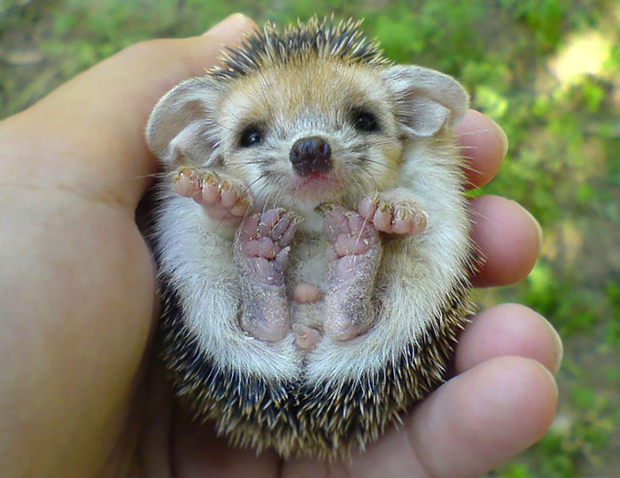 cute-hedgehog-photos-7-58930c8af24f3__700