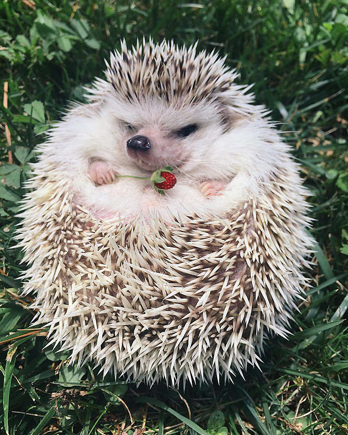 cute-hedgehogs-89-58933515de0ad__700