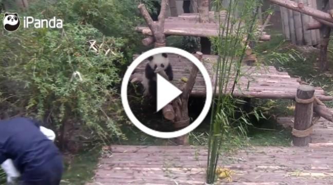 Панда, яка дуже любить обійматися, стала новою улюбленицею Інтернету