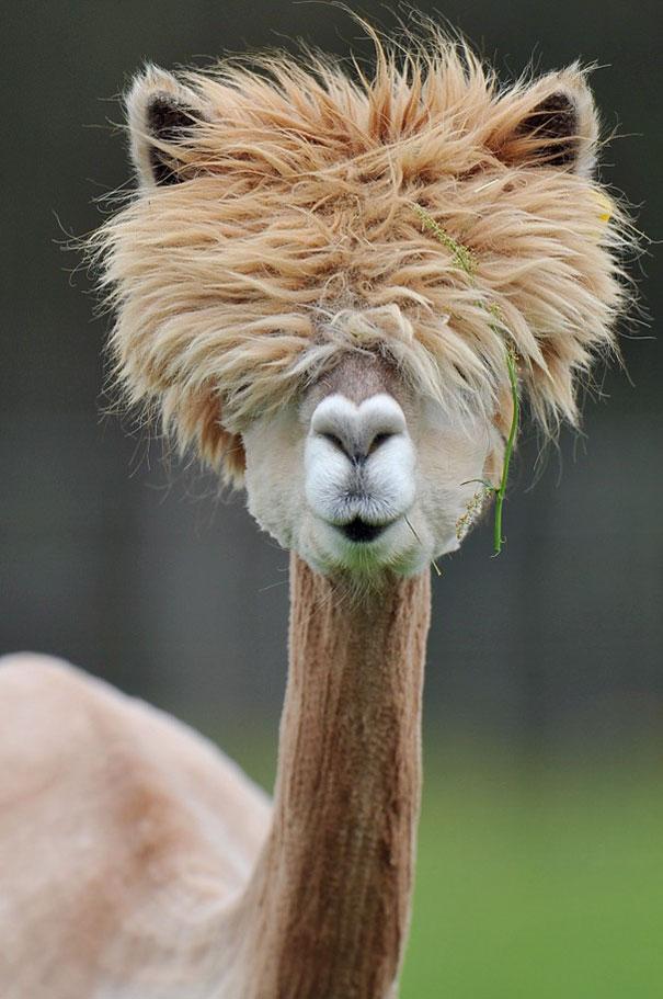cute-funny-alpacas-1-58c6484c5e930__605