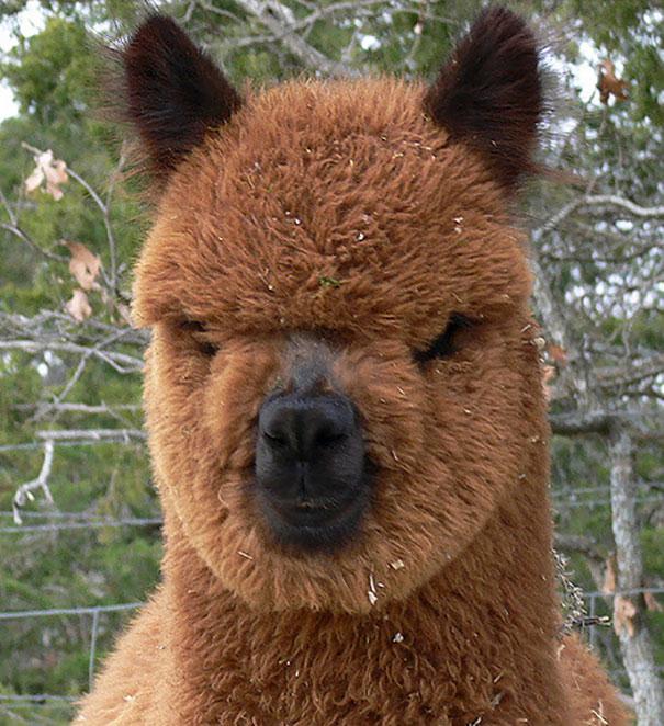 cute-funny-alpacas-3-58c64c1c3a5dd__605