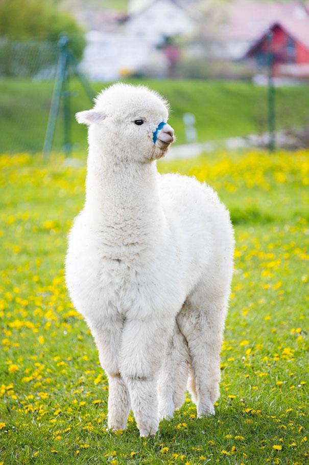 cute-funny-alpacas-46-58c6aa67deffb__605