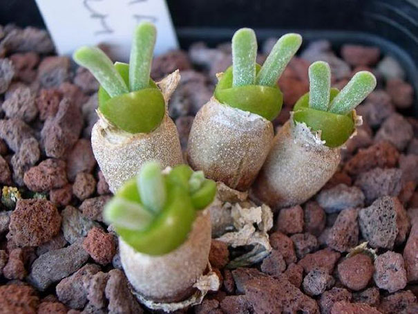 cute-rabbit-succulents-monilaria-obconica-3-58c7a245bfce0__605