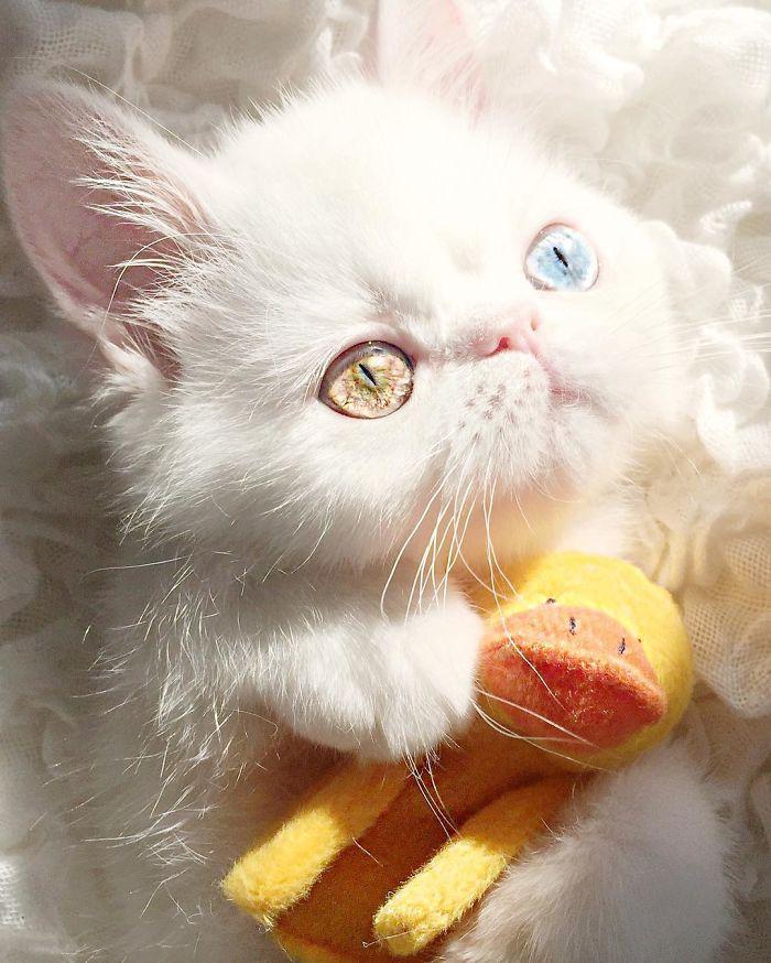 cat-eyes-heterochromia-iridis-pam-pam-10-58f869c85e24c__700