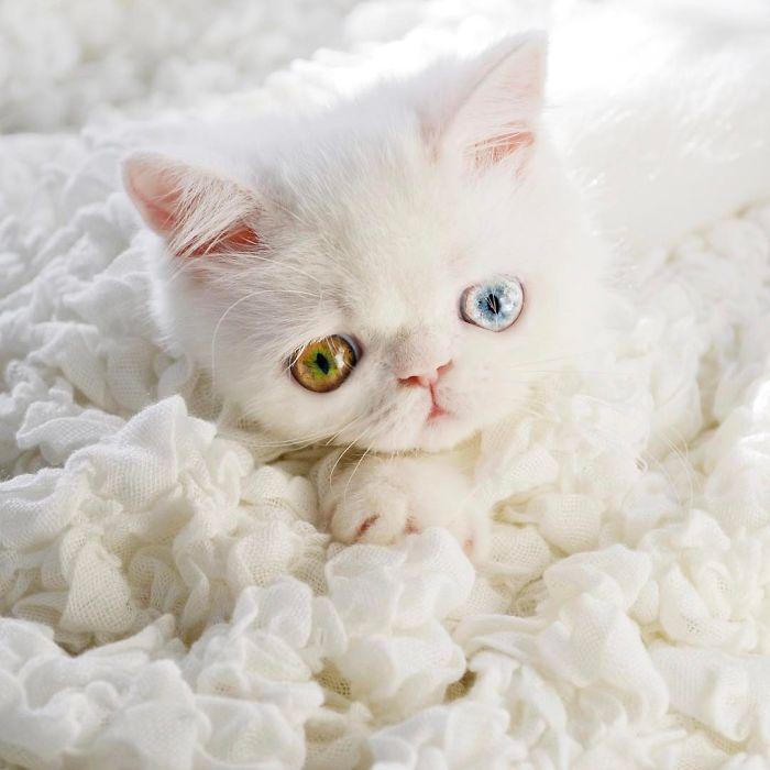 cat-eyes-heterochromia-iridis-pam-pam-14-58f869d263c93__700