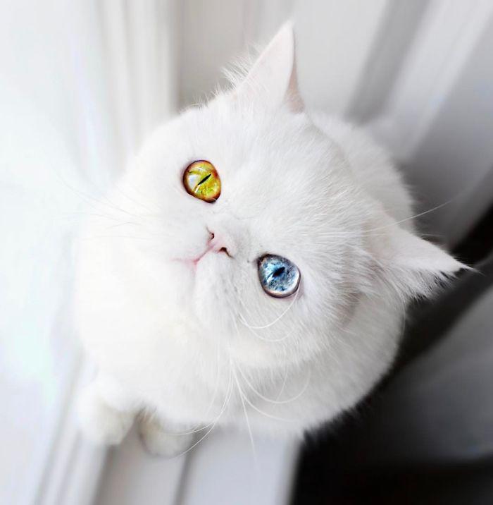 cat-eyes-heterochromia-iridis-pam-pam-21-58f869e434511__700