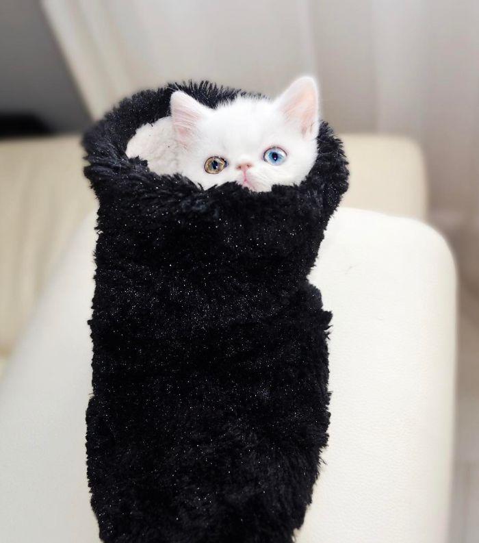 cat-eyes-heterochromia-iridis-pam-pam-26-58f869f25989e__700