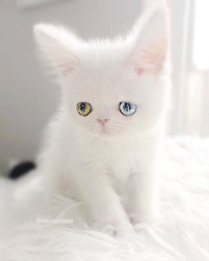 cat-eyes-heterochromia-iridis-pam-pam-29-58f869fb32f93__700