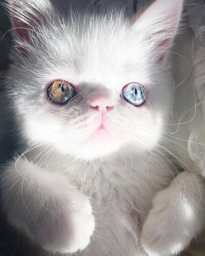 cat-eyes-heterochromia-iridis-pam-pam-3-58f869b754dfe__700