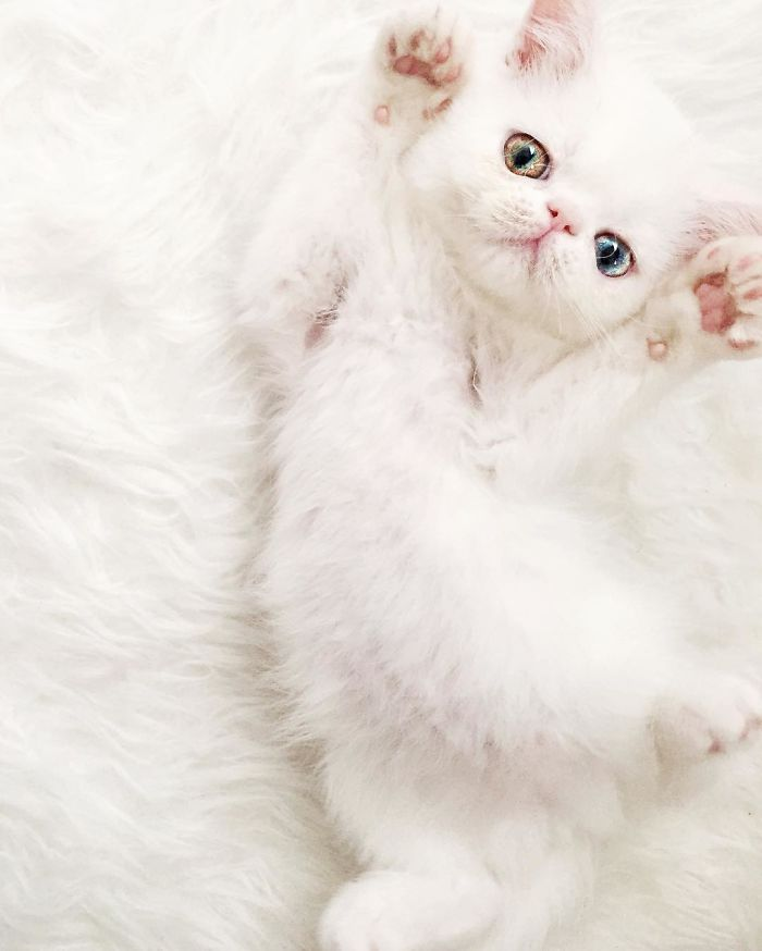 cat-eyes-heterochromia-iridis-pam-pam-5-58f869bc391d1__700