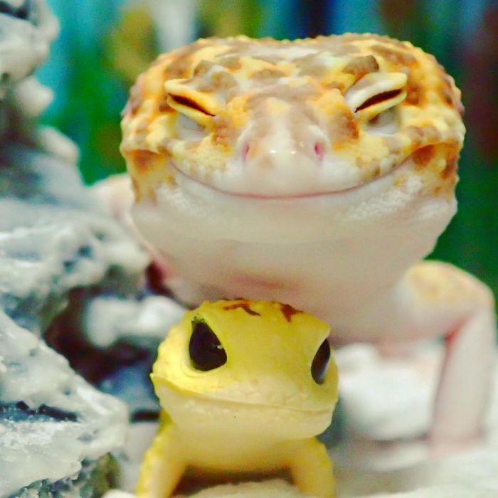 cute-happy-gecko-with-toy-kohaku-1-591e9c32b76f1__700