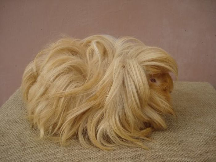 long-haired-guinea-pigs-58fde79de34d3__700