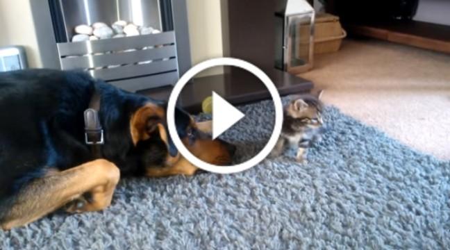 Великий пес вмовляє кошеня погратися з ним. Смішнючий!