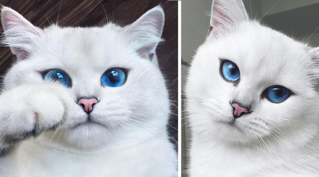 Знайомтеся з Кобі – найкрасивішою блакитноокою кішкою в світі