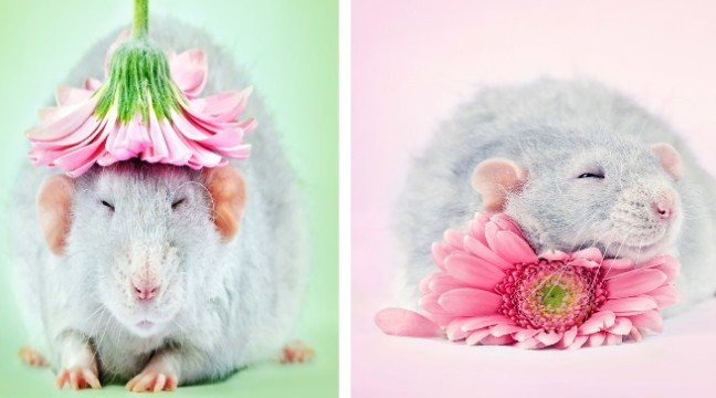 Вважаєте щурів брудними і потворними? Ці фото змінять вашу думку раз і назавжди :)