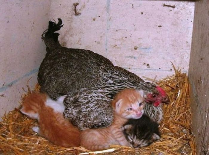 hens-adopt-animals-5979b4e296501__700